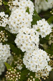 White flowers in full Spring bloom Stock Images