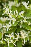 White flowers in full Spring bloom Stock Image