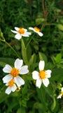 White flowers of Ganesha, dark yellow royalty free stock photography