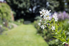 White flowers in garden along a grass path Stock Photo