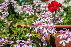 White flowers in the garden. White beautiful flowers growing in the green garden Stock Photo