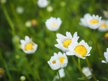 White flowers in the garden. Flowers bloom in the garden Royalty Free Stock Image