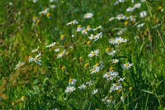 White flowers in garden. White chamomiles with green grass Royalty Free Stock Image
