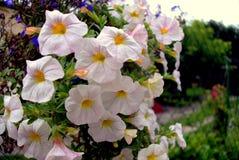 Flowers. White flowers in the garden Stock Image