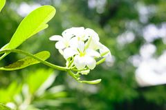 White flowers in garden royalty free stock photo