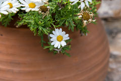 White flowers from garden in pot Stock Image