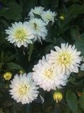 White Flowers. Gorgeous white flowers Royalty Free Stock Photo