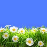 White flowers with grass Stock Image