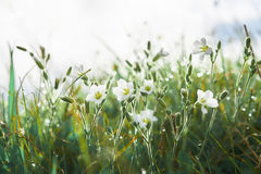 White flowers in the grass with dew early morning Royalty Free Stock Images