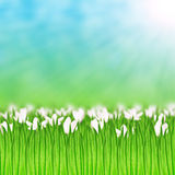 White flowers in the grass Royalty Free Stock Photo