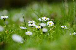 White flowers on grass. Spring and summer freshness with beautiful small white flowers on on fresh, bright green grass Stock Photos