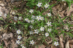 White flowers of the Greater Stitchwort Royalty Free Stock Image