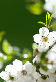 White flowers on the green background Royalty Free Stock Photography