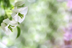 White flowers. On green background Royalty Free Stock Image