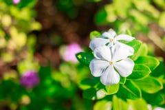 White flowers, green background macro. royalty free stock photo