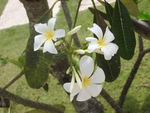 White flowers on green background, Sri Lanka stock photography