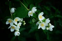 White flowers on the green branches of the jasmine bush stock image