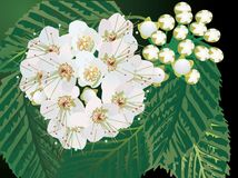 White flowers in green foliage illustration Stock Image
