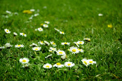 White flowers in green grass Royalty Free Stock Photo