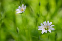 White flowers on green grass. Background. Focus on nearest flower royalty free stock photo