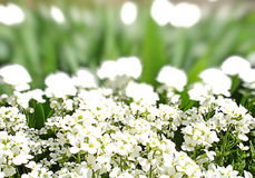 White flowers green grass Stock Photography