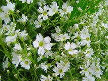 White flowers in green . Royalty Free Stock Images