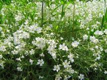 White flowers . Royalty Free Stock Photos