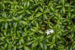 White flowers on green leaf bush. Backgrounds stock images