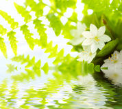 White Flowers and green leafs with waterdrops. Reflected in water (shallow dof royalty free stock photo