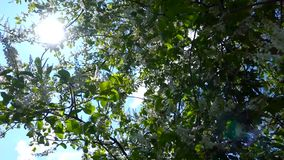 White flowers and green leaves a bird cherry. Bird cherry bushes swaying in the wind. The sun's rays make their way through the bird cherry leaves. Natural stock footage