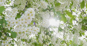 White flowers and green leaves a bird cherry. Bird cherry bushes swaying in the wind. The sun`s rays make their way stock video footage
