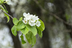 White flowers and green leaves on the branch of the cherry bloss Royalty Free Stock Photography