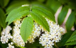 White flowers and green leaves of the rowan tree. Close up Stock Image