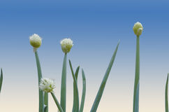 White Flowers and Green Leaves of the Scallion Plant Royalty Free Stock Photo