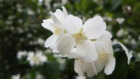 White jasmine flowers. Royalty Free Stock Image