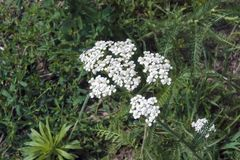 White flowers on a green meadow. White yarrow flowers, meadow and green grass Royalty Free Stock Photos