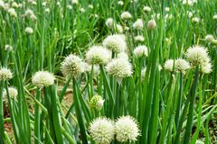 White flowers of green onion on a garden bed,. White flowers of green onion on a garden bed on a farm Stock Image
