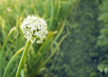 White flowers of green onions. onion blooms in the garden. seeds royalty free stock image