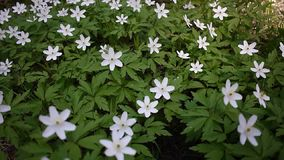 White flowers grow in the spring Sunny forest. Details and close-up. White flowers grow in the spring Sunny forest. Details close-up stock footage
