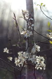 White flowers growing on a twig. In Winnipeg, Manitoba, Canada stock photography
