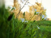 White flowers growing. WWhite flowers are growing on the way to the forest Stock Photography
