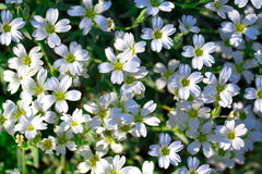 White flowers of Gypsophila repens