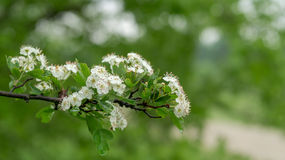 White flowers of hawthorn bush in spring Stock Photos
