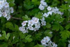 White hawthorn flowers royalty free stock photography