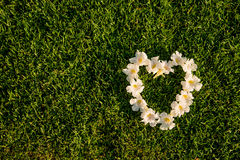 White flowers  heart shape on a green grasses field. Stock Photo