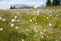 White flowers in high mountain meadows Royalty Free Stock Images