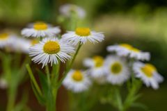 White flowers in a home garden. Cute colorful flowers on a garden discount. Season of the summer aster autumn background beautiful beauty bloom blooming stock photography