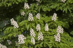 White flowers of a horse chestnut tree. Conker tree with palm-like foliage and blossoms in erect panicles royalty free stock photos