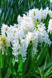 White flowers hyacinths flowerbed royalty free stock photos