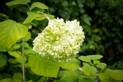 White flowers of Hydrangea Paniculata Limelight Royalty Free Stock Photography